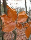 Hêtre en automne Images stock