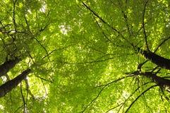 Hêtres verts Photos libres de droits