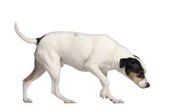 Híbrido con un terrier de Gato Russell Imágenes de archivo libres de regalías
