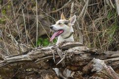 Híbrido da caça e cão do norte que olha fora de seu lugar favorito imagens de stock