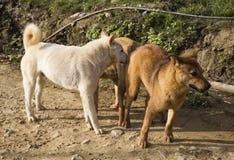 Híbrido de acoplamento do cão masculino e fêmea Fotos de Stock Royalty Free