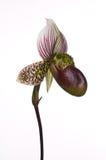Híbrido de la orquídea de deslizador de señora Imagenes de archivo