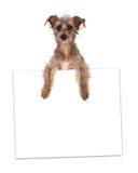 Híbrido de Terrier que lleva a cabo la muestra en blanco Imagen de archivo libre de regalías