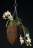 Híbrido del phalaenopsis de la orquídea sobre negro Imagenes de archivo