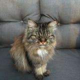 Híbrido do gato Imagens de Stock Royalty Free