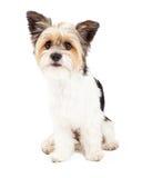 Híbrido do yorkshire terrier e do ShihTzu fotos de stock royalty free