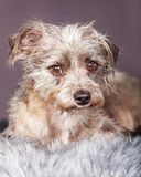 Híbrido pequeno bonito de Terrier no cinza Imagens de Stock