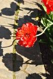 Híbrido vermelho de Darwin da tulipa no canteiro de flores na mola fotografia de stock