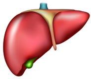Hígado Foto de archivo libre de regalías