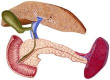 Hígado - cirrosis Fotografía de archivo