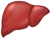 Hígado de la persona sana Imagen de archivo libre de regalías