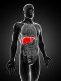 Hígado masculino destacado Imagen de archivo libre de regalías