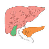 Hígado y páncreas Imagenes de archivo