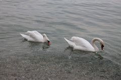 Höckerschwäne auf See Garda Italien lizenzfreie stockbilder