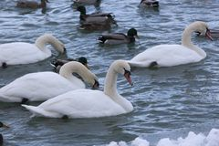 Höckerschwäne in einer Kälte, Snowy-Blau-Fluss Lizenzfreie Stockfotos