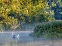 Höckerschwäne und Cygnets in Misty Morning Sun lizenzfreie stockfotos