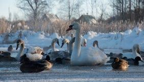 Höckerschwäne und Enten auf gefrorenem See Lizenzfreie Stockfotografie
