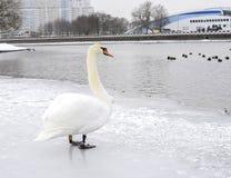 Höckerschwan auf dem Eis in der Mitte der Stadt stockfoto