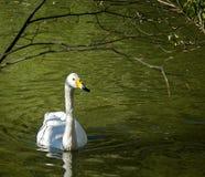 Höckerschwan auf dem grünen Wasserteich unter den Baumbrunchs Stockfotografie