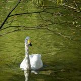Höckerschwan auf dem grünen Wasserteich unter den Baumbrunchs Stockfotos