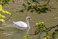 Höckerschwan auf dem See an einem sonnigen Tag Lizenzfreie Stockfotos