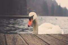 Höckerschwan auf dem See geblutet in Slowenien Lizenzfreie Stockfotografie