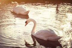 Höckerschwan auf dem See im Sonnenlicht stockbild
