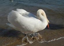 Höckerschwan auf dem Strand stockfotografie