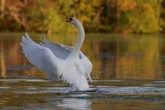 Höckerschwan auf einem See im Fall Lizenzfreie Stockbilder