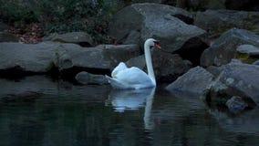 Höckerschwan auf einem Teich stock video footage