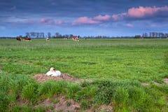 Höckerschwan auf Nest bei Sonnenuntergang Lizenzfreies Stockfoto