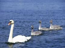Höckerschwan auf See mit vier Cygnets lizenzfreies stockfoto