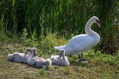 Höckerschwan Cygnet stockfotos