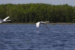 H?ckerschwan Cygnus olor im Flug ?ber dem See stockfoto