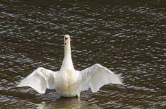 Höckerschwan dehnt seine Flügel aus Lizenzfreies Stockbild