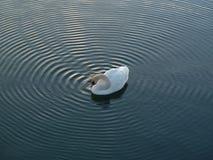 Höckerschwan, der Kräuselungen im Wasser macht Stockbild