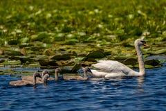 Höckerschwan Familie und Cygnets in Donau-Delta lizenzfreie stockfotografie