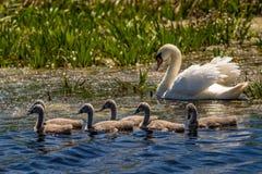 Höckerschwan Familie und Cygnets in Donau-Delta lizenzfreies stockfoto