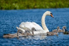 Höckerschwan Familie und Cygnets in Donau-Delta lizenzfreie stockbilder