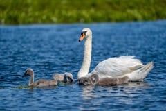 Höckerschwan Familie und Cygnets in Donau-Delta stockbild