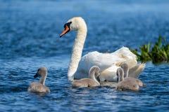 Höckerschwan Familie und Cygnets in Donau-Delta lizenzfreies stockbild