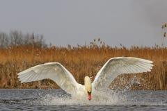 Höckerschwan halnuye Beine und Flügel auf dem Wasser Stockfotos