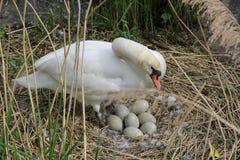 Höckerschwan mit Eiern auf Nest Cygnus Olor Lizenzfreies Stockfoto