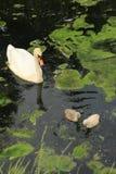 Höckerschwan mit Jungen eine Stockbilder