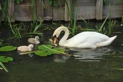 Höckerschwan mit Jungen eine Stockbild