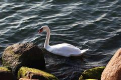 Höckerschwan nahe der Küste lizenzfreie stockfotografie