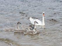 Höckerschwan und Cygnets schwimmen im Fluss, selektiver Fokus stockfotografie