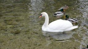 Höckerschwan und Enten auf Teichwasser stock video
