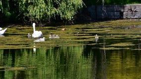 Höckerschwanfamilienschwimmen auf dem Teich stock video footage