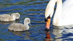 Höckerschwanmutter und ihre zwei kleinen Baby Cygnets schwimmen und ziehen herein das Wasser ein lizenzfreies stockfoto